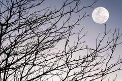 Ramo della siluetta dell'albero sul tramonto del cielo Immagine Stock