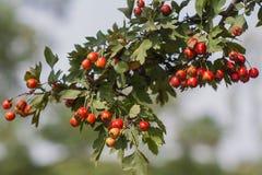 Ramo della sorba nel giardino botanico di Donec'k Fotografie Stock