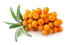 Ramo delle bacche dell'olivello spinoso Immagine Stock