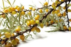 Ramo delle bacche dell'olivello spinoso su un fondo bianco Fotografia Stock Libera da Diritti