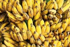 Ramo delle banane di Gros Michel maturo Fotografia Stock Libera da Diritti