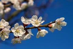 Ramo delle fioriture dell'albicocca dell'albero da frutto Fotografia Stock Libera da Diritti