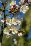 Ramo delle fioriture dell'albicocca dell'albero da frutto Immagine Stock
