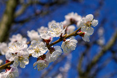 Ramo delle fioriture dell'albicocca dell'albero da frutto Fotografie Stock Libere da Diritti
