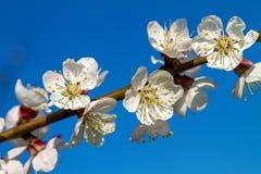 Ramo delle fioriture dell'albicocca dell'albero da frutto Fotografia Stock