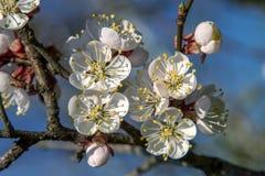 Ramo delle fioriture dell'albicocca dell'albero da frutto Immagini Stock Libere da Diritti