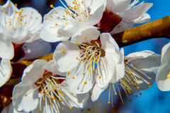 Ramo delle fioriture dell'albicocca dell'albero da frutto Immagini Stock