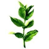 Ramo delle foglie di menta verdi crude fresche, isolato, illustrazione dell'acquerello su bianco Fotografia Stock