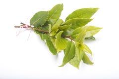 Ramo delle foglie fresche dell'alloro Fotografia Stock Libera da Diritti