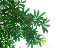 Ramo delle foglie isolato (cielo bianco) Fotografia Stock Libera da Diritti