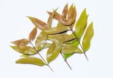 Ramo delle foglie su fondo bianco Fotografia Stock