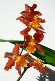 Ramo delle orchidee di rosso di Marsala Fotografia Stock