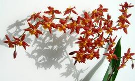 Ramo delle orchidee di rosso di Marsala Fotografie Stock
