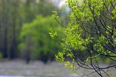 Ramo di albero. Immagine Stock