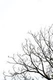 Ramo di albero Immagine Stock