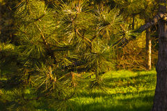 Ramo di albero Immagini Stock Libere da Diritti