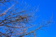 Ramo di albero asciutto con il cielo blu Immagini Stock Libere da Diritti