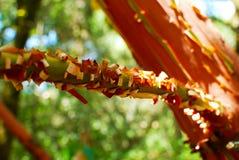 Ramo di albero con la corteccia della sbucciatura Immagini Stock Libere da Diritti