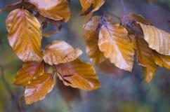Ramo di albero con le foglie di autunno bagnate Priorità bassa di autunno Immagine Stock Libera da Diritti