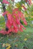 Ramo di albero con le foglie di rosso a Omsk Fotografia Stock Libera da Diritti