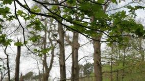 Ramo di albero con le foglie verdi che ondeggiano nel vento video d archivio