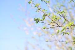 Ramo di albero con le foglie verdi fresche contro cielo blu fotografie stock libere da diritti