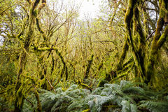 Ramo di albero con muschio, pista di Milford della foresta pluviale Fotografie Stock Libere da Diritti