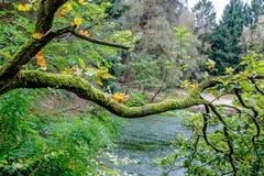 Ramo di albero coperto di muschio Fotografia Stock