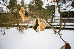 Ramo di albero davanti a neve Immagine Stock