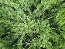 Ramo di albero del cedro di Cypress Vista superiore immagini stock