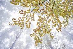 Ramo di albero del faggio Fotografia Stock