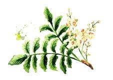 Ramo di albero del franchincenso di carterii di Boswellia con le foglie ed i fiori Illustrazione disegnata a mano dell'acquerello royalty illustrazione gratis