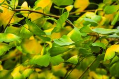 Ramo di albero del ginkgo biloba con le foglie contro fondo verde fertile fotografie stock
