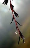 Ramo di albero del tè con rugiada immagini stock