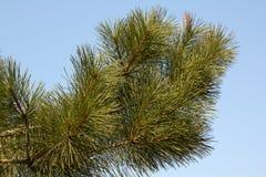 Ramo di albero dell'abete Fotografie Stock Libere da Diritti