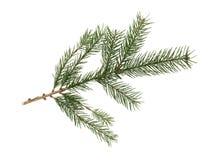 Ramo di albero dell'abete Immagini Stock