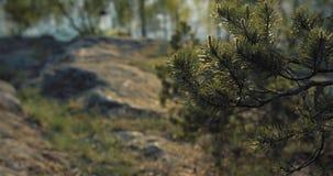 Ramo di albero dell'abete che ondeggia lentamente sulla collina archivi video