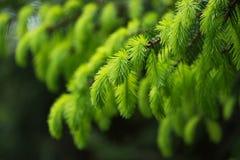 Ramo di albero dell'abete con i giovani tiri verdi freschi nella primavera Fuoco molle selettivo fotografia stock