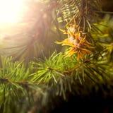 Ramo di albero dell'abete di douglas con i coni sull'autunno closeup Fotografia Stock