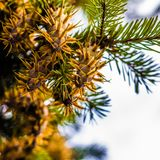 Ramo di albero dell'abete di douglas con i coni sull'autunno closeup Fotografie Stock