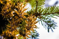 Ramo di albero dell'abete di douglas con i coni sull'autunno closeup Immagini Stock