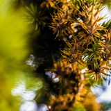Ramo di albero dell'abete di douglas con i coni sull'autunno closeup Fotografia Stock Libera da Diritti
