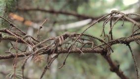 Ramo di albero dell'abete, ramo di una conifera nella foresta, primo piano, macro colpo archivi video