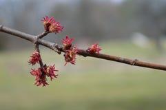 Ramo di albero dell'acero in primavera Immagine Stock Libera da Diritti