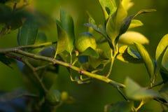 Ramo di albero dell'agrume con la frutta verde non matura del limone illuminata da luce solare Fuoco selettivo, fondo defocused v Fotografia Stock Libera da Diritti