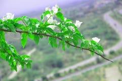 Ramo di albero della buganvillea con le foglie verdi fotografie stock libere da diritti