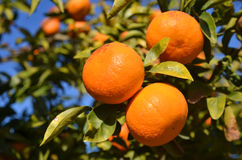 Ramo di albero della clementina Fotografie Stock Libere da Diritti