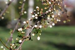 Ramo di albero di fioritura in primavera Fotografia Stock Libera da Diritti