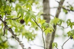 Ramo di albero di Sweetgum (liquidambar styraciflua) Immagine Stock