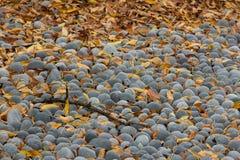 Ramo di albero e foglie di autunno che si trovano sulle pietre grige rotonde Immagini Stock Libere da Diritti